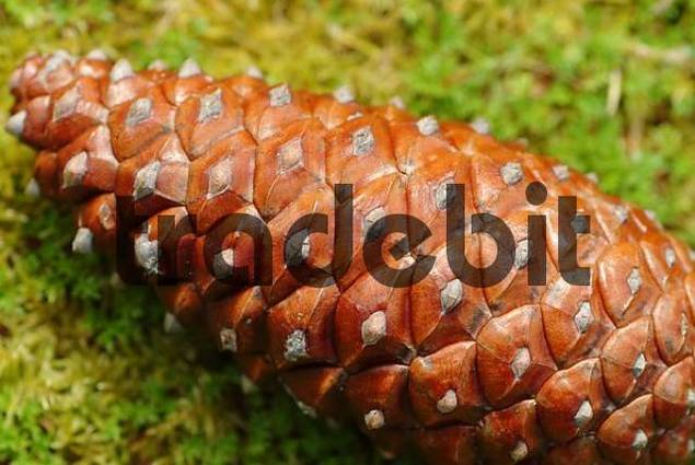 cone of a pine