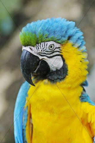 Blue-and-Yellow Macaw or Blue-and-Gold-Macaw (Ara ararauna), Antioquia, Colombia, South America, Latin America