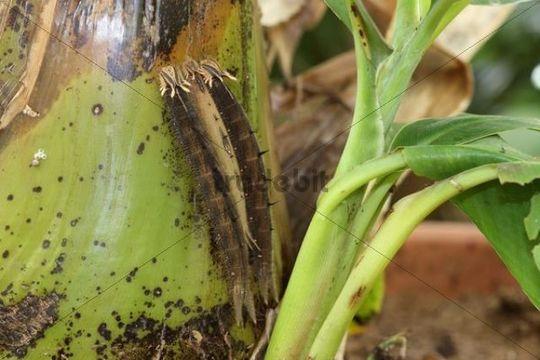 Owl (Caligo memnon), caterpillars on a banana tree, found in South America