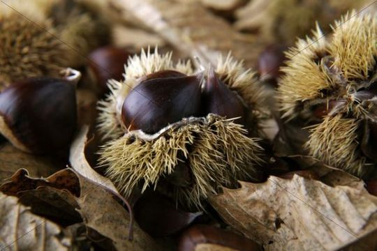 Sweet Chestnuts or Marrons (Castanea sativa), chestnuts with opened hairy shells on leaves