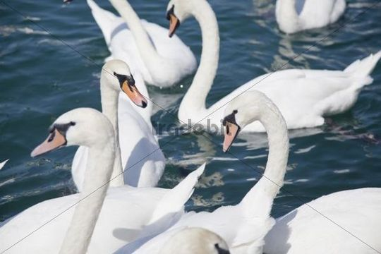 Mute swans (Cygnus olor) waiting for food, Lake Zurich, Zurich, Switzerland, Europe
