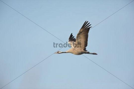 Common Crane (Grus grus), in flight, Guenzer See Lake, Mecklenburg-Western Pomerania, Germany, Europe
