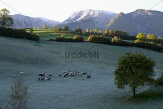 Flock of sheep in the morning dew, Limestone Alps National Park near Windischgarsten, Austria, Europe