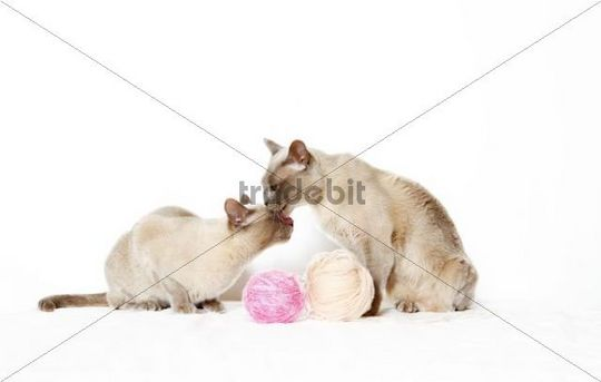 Burmese cats playing with ball of wool
