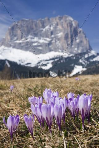 White Crocus (Crocus albiflorus) and peak of Langkofel or Sassolungo, Dolomites, Italy, Europe