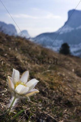 Spring Pasque flower (Pulsatilla vernalis, Anemone vernalis), Passo Gardena, Gardena Pass, Dolomites, Italy, Europe