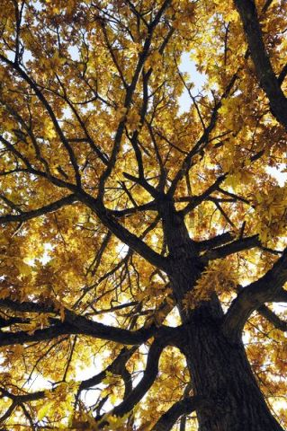 Oak tree (Quercus) suffused with light in the autumnal Ostpark, Munich, Bavaria, Germany, Europe