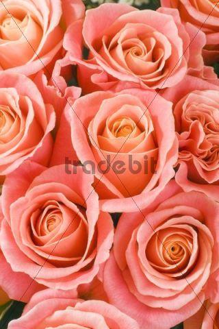 Roses (Rosa)
