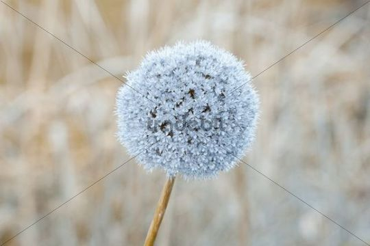 Colour treated Flowering onion (Allium hollandicum), England, United Kingdom, Europe