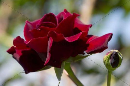 red hybrid tea rose rosa etoile de hollande download nature. Black Bedroom Furniture Sets. Home Design Ideas