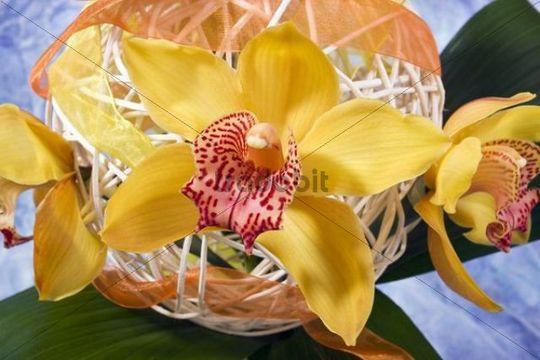 Arrangement with orchids (Orchideae)