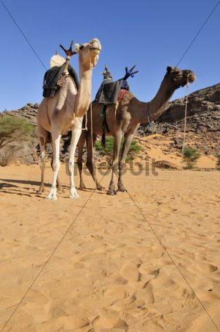Two riding camels in a vadi or wadi, Arabic term for valley, of Adrar Tekemberet, Immidir, Algeria, Sahara, North Africa