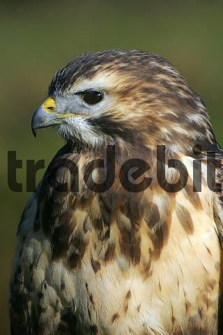 common buzzard - portrait Buteo buteo
