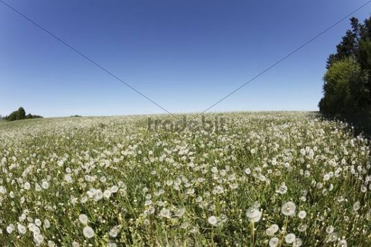 Meadow with dandelion seed heads, Herzogenreuth, Little Switzerland, Upper Franconia, Franconia, Bavaria, Germany, Europe