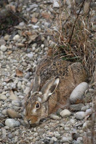 European Hare (Lepus europaeus) crouched in a shallow form, Allgaeu, Bavaria, Germany, Europe