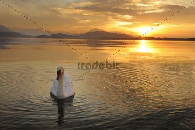 Sunset on Lake Zug with mute swan (Cygnus olor), Canton of Zug, Central Switzerland, Switzerland, Europe