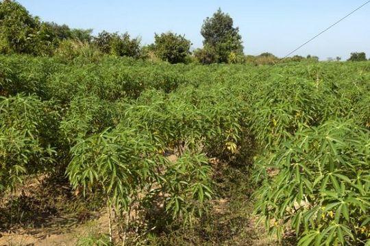 Cultivation of Cassava or Manioc (Manihot esculenta), Siem Reap, Cambodia, Southeast Asia