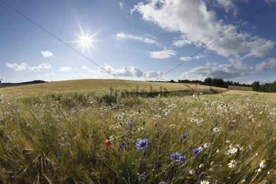 Wild flowers in a wheat field, Hollfeld, Franconian Switzerland, Franconia, Bavaria, Germany, Europe