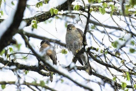 Sparrowhawks (Accipiter nisus), couple in late winter, Upper Bavaria, Germany, Europe