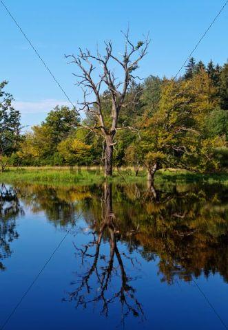 Seachtnmoor, abgestorbene Bäume spiegeln sich in einem Moor, Andechs, Oberbayern, Bayern, Deutschland, Europa, ÖffentlicherGrund