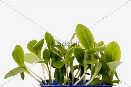 Borage (Borago officinalis), seed tray