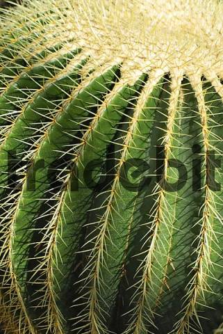 Golden Barrel Cactus, so-called Mother-in-Laws-Cushion