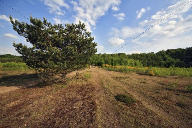 Pine in heathland, Geisterbusch, Wahner Heide, Cologne, North Rhine-Westphalia, Germany, Europe