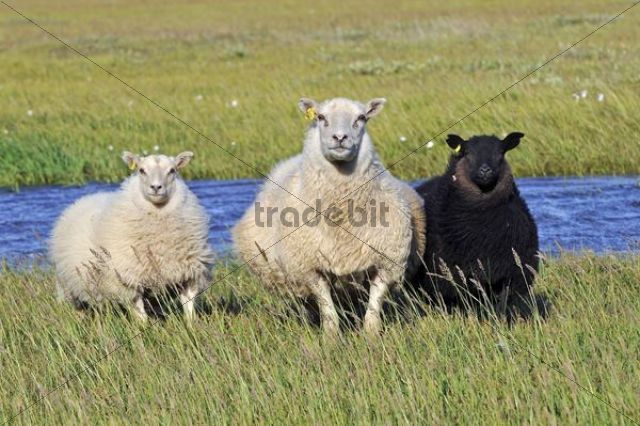 Sheep, Snaefell Peninsula or Snaefellsnes, Iceland, Europe