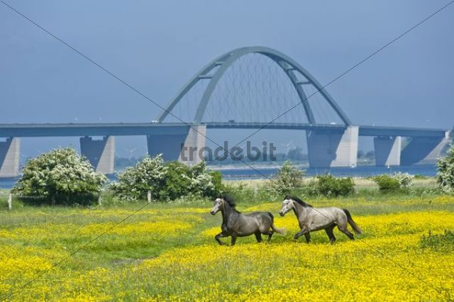Fehmarn Sound Bridge with canola field and paddock, Fehmarn island, Baltic Sea, Schleswig-Holstein, Germany, Europe