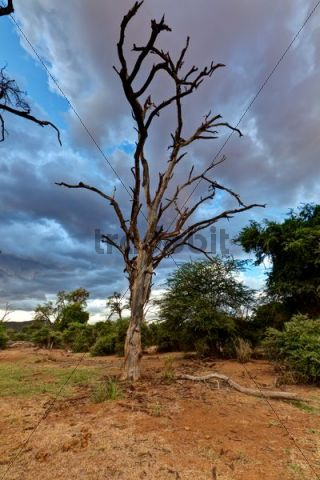 Dead tree in the Samburu National Reserve, typical landscape on the Ewaso Ng´iro river, Kenya, East Africa, PublicGround