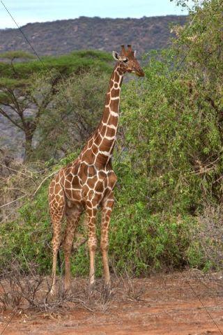 Reticulated Giraffe (Giraffa camelopardalis reticulata), Samburu National Reserve, Kenya, East Africa, PublicGround