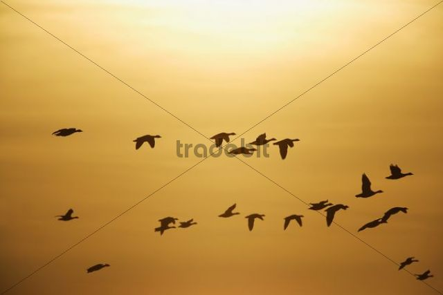 Greater White-fronted Geese (Anser albifrons), in flight against sunset, Bislicher Insel nature reserve, Wesel, North Rhine-Westphalia, Germany, Europe