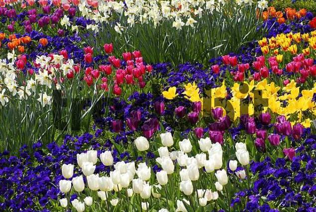 Viola, tulips and narcissus