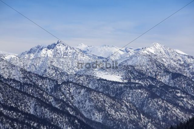 Sycamore maple trees in Rhontal Valley in winter, Tyrol, Austria, Europe