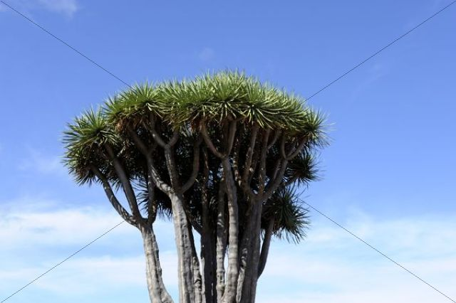 Crown of a Canary Islands Dragon Tree (Dracaena draco), El Tablado, La Palma, Canary Islands, Spain, Europe, PublicGround