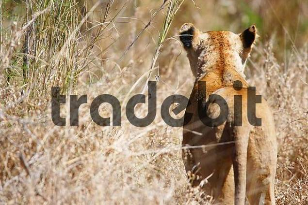 female lion on the lookout, Krueger national park, South Africa, Africa