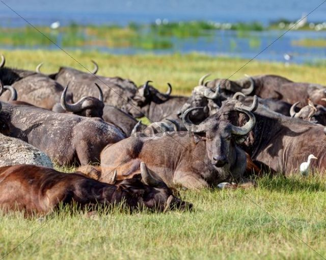 Large group of African buffalos (Syncerus caffer) lying at Lake Nakuru, Lake Nakuru National Park, Kenya, East Africa, Africa, PublicGround