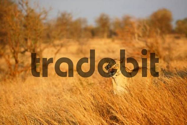 female lion in high grass, Krueger national park, South Africa, Africa