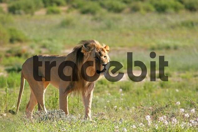 lion in the Kalahari, South Africa, Africa