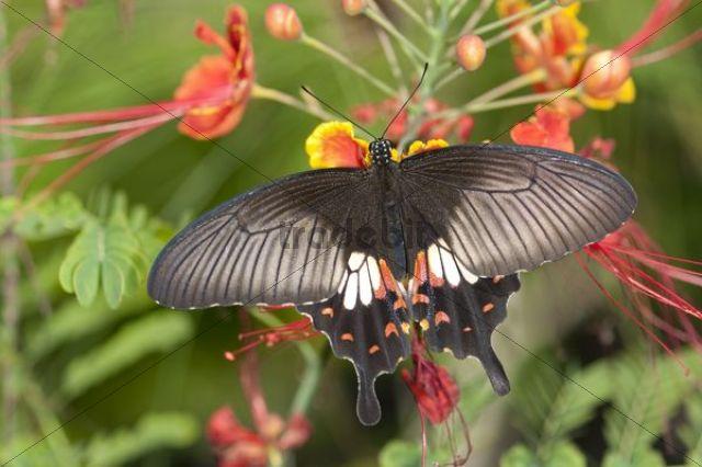 Great mormon (Papilio memnon), tropical butterfly, Phuket, Thailand, Southeast Asia, Asia