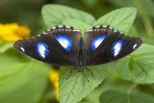 Great eggfly, blue moon butterfly (Hypolimnas bolina), male, Phuket, Thailand, Southeast Asia, Asia