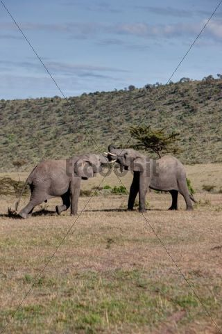 African Bush Elephant (Loxodonta africana), two young bulls fighting each other, Masai Mara National Reserve, Kenya, East Africa, Africa, PublicGround