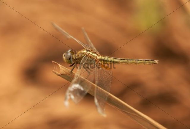 Dragonfly, Scarlet Skimmer or Crimson Darter (Crocothemis sevillia), female, Battambang, Cambodia, Asia