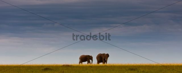 African elephants (Loxodonta africana) on the horizon, Masai Mara National Reserve, Kenya, East Africa, PublicGround