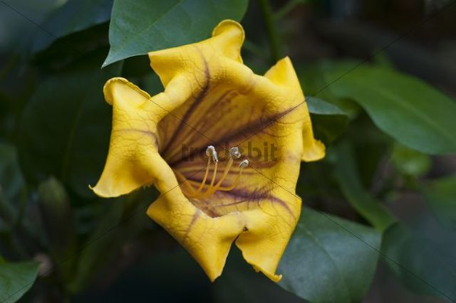 Cup of Gold Vine or Golden Chalice Vine (Solandra maxima), flowering, Wilhelma zoological botanical garden, Stuttgart, Germany, Europe