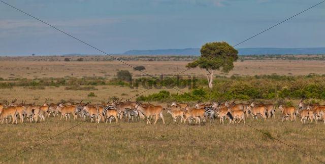 Herd of Eland Antilopes (Taurotragus oryx), Zebra (Equus quagga) and Blue Wildebeest (Connochaetes taurinus), Masai Mara National Reserve, Kenya, East Africa, Africa, PublicGround