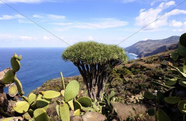 Canary Island Dragon Tree (Dracaena draco), El Tablado, La Palma, Canary Islands, Spain, Europe, PublicGround