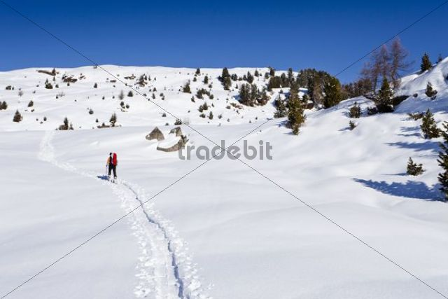 Ski tourer on the ascent to Cima Bocche above Passo Valles, behind the Cima Bocche, Trentino, Dolomites, Italy, Europe