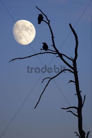 Crows on an old tree with the moon, composing, Baden-Wuerttemberg, Germany, Europe