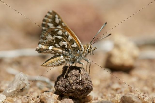 Large Silver-spotted Copper (Trimenia argyroplaga), indigenous butterfly species of South Africa, Naries, Namaqualand, South Africa, Africa